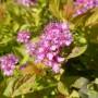 Spiraea japonica Firelight – Spierstruik – Struikspiraea