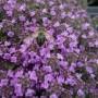 Thymus serpyllum – Tijm