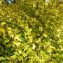 Ligustrum Lemon and Lime – Liguster
