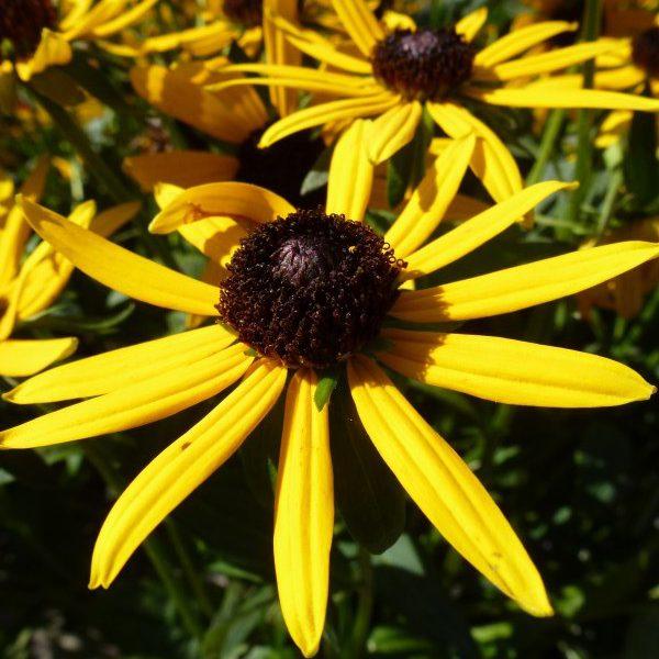 Rudbeckia fulgida Little Goldstar