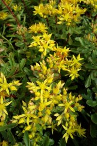 Sedum floriferum Weihenstepaner gold