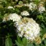 Spiraea japonica Albiflora – Spierstruik – Struikspiraea