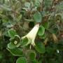 Correa backhouseana – Australische Fuchsia