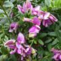 Polygala myrtifolia – Vleugeltjesbloem