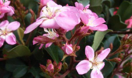 Rhaphiolepsis indica Springtime