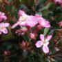 Rhaphiolepsis indica Springtime – Indische Haagdoorn