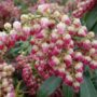 Pieris japonica Passion – Rotsheide