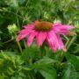 Echinacea purpurea PowWow Wild Berry – Rode Zonnehoed