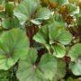 Ligularia dentata Othello – Tongkruiskruid