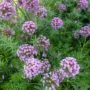 Phuopsis stylosa Purpurea – Perzische Kruisjesplant