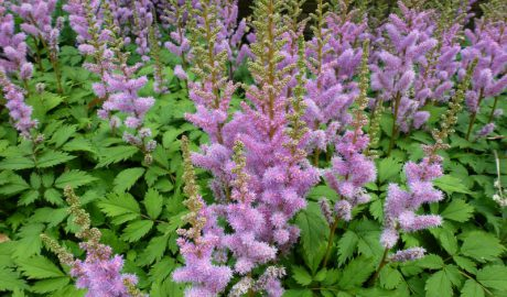 Astilbe chinensis Pumila