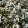Cotoneaster conspicuus – Dwergmispel
