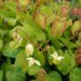 Epimedium versicolor Sulphureum – Elfenbloem