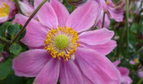 Anemone Pretty Lady Emily