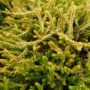 Thuja occidentalis Golden Tuffet – Westerse Levensboom