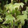 Hedera helix Yellow Ripple – Klimop
