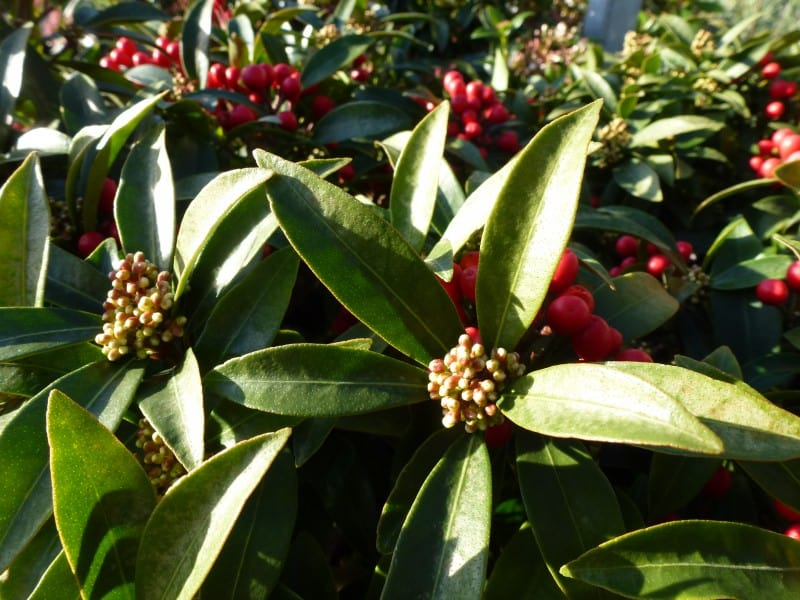 Skimmia japonica Godrie's Little Ruby