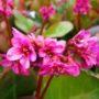 Bergenia cordifolia Eroica – Schoenlappersplant