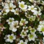 Saxifraga Pixie White – Steenbreek