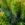 Euphorbia characias wulfenii – Wolfsmelk