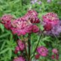 Astrantia major Abbey Road – Zeeuws knoopje