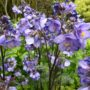 Polemonium yezoense Bressingham Purple – Jacobsladder