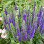 Veronica spicata Ulster Dwarf Blue – Ereprijs